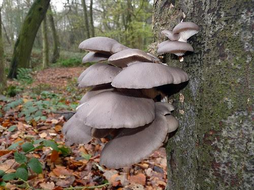 23693 - Oyster Mushroom, Leeds