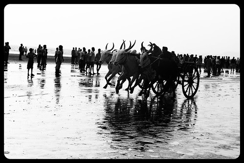 The Beauty Of The Bullock Cart Race Murud Janjira by firoze shakir photographerno1