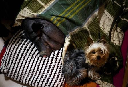 Pancita dorme toda confortável junto com os cachorros