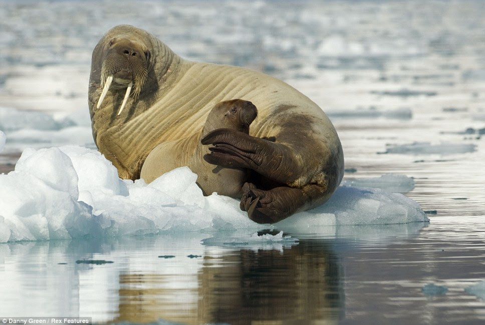 Embracing his pup in his belly this walrus looks very content as  it sits near the water's edge in Svalbard, Norway