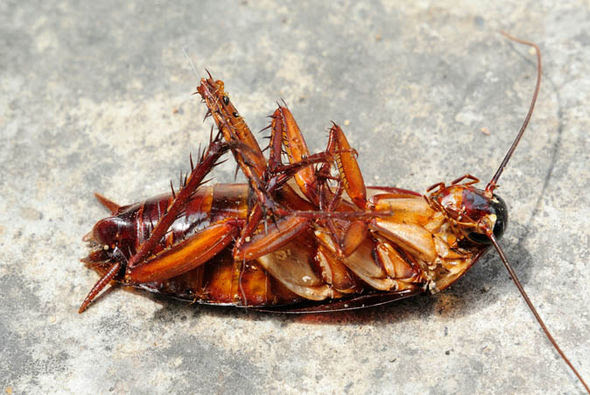 Cockroach lying on its back looking all relaxed