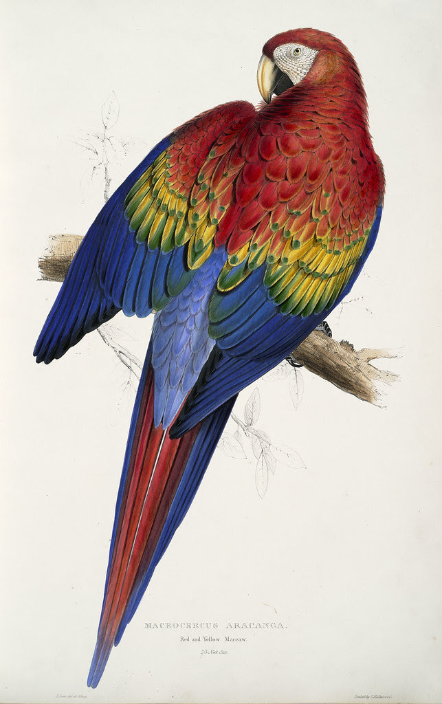 19th century colour lithography of parrot