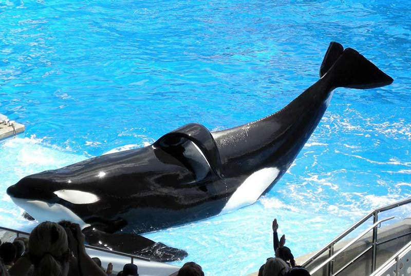 Tilikum, one of the largest orcas held captive at SeaWorld, has been in captivity for over 30 years. His sperm has been used to father over half the orcas at SeaWorld's parks, even though he has killed three humans.