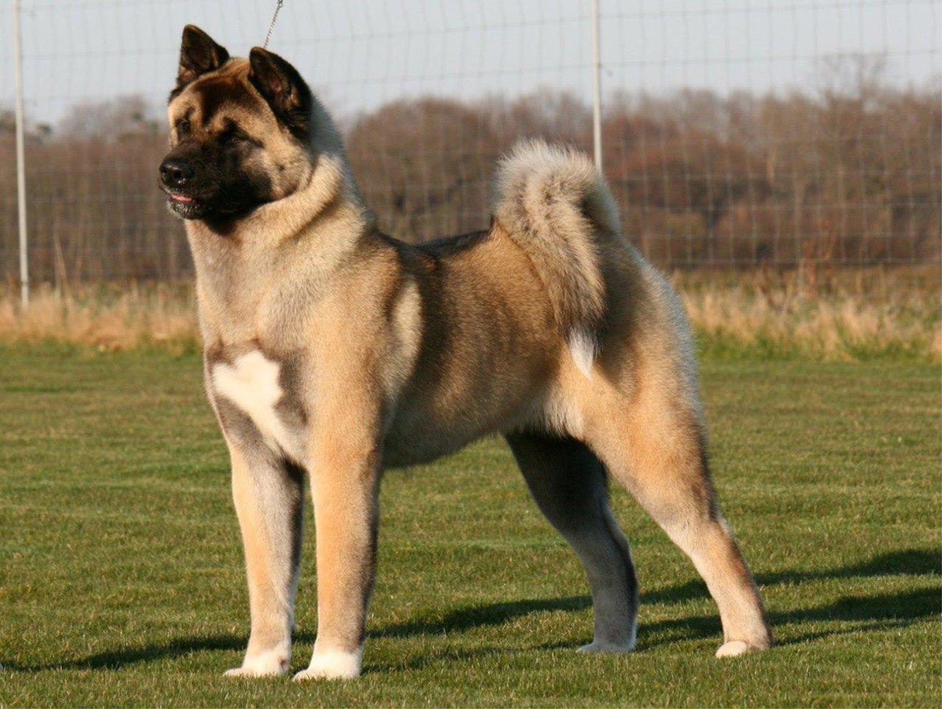 Akita dogs must be kept under control says MP  The Ambler