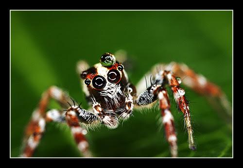 Jumping Spider ~4:1