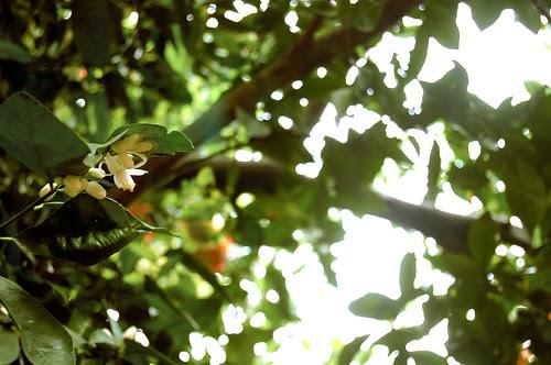 orange tree canopy
