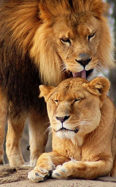 Λιονταρια: Συζυγικη φροντιδα