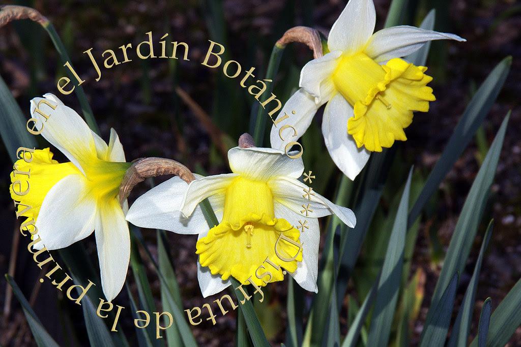 Narcisos en el Jardín Botánico de Madrid