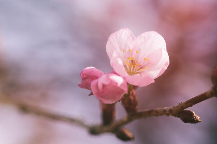 Image result for sakura