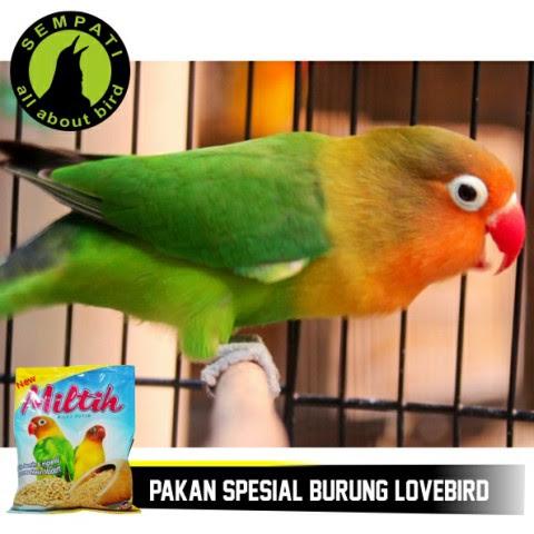 Unduh 97+ Foto Gambar Burung Lovebird Putih HD Terbaru