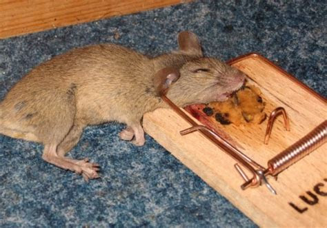 4 Reasons Your Mouse Traps Aren't Working, and How to Fix Them ( Bonus Tip!)   Pest Revenge