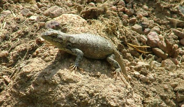 here, lizard, lizard, lizard