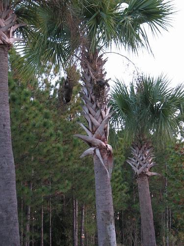 Raccoon in a palm tree