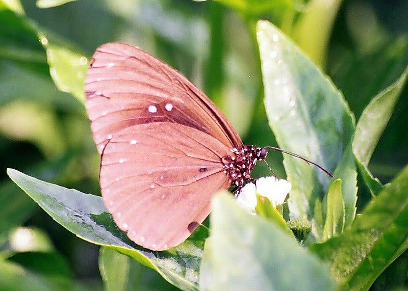 File:Brown butterfly.jpg