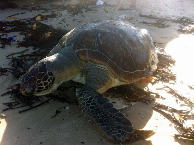 Tartaruga verde foi encontrada no início da tarde desta sexta (31) (Foto: Flavio Muniz/Inter Tv Cabugi)