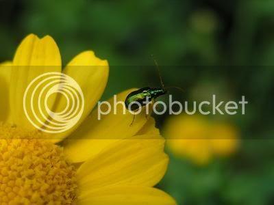 Green Bug - Photobucket.com