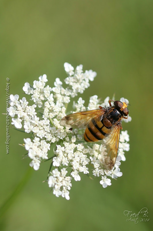 Volucella inanis ♀
