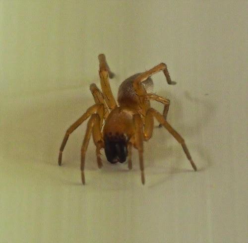 Buzzing spider