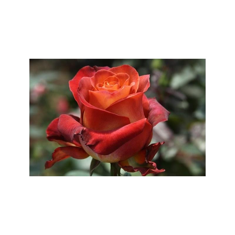 Coffee Break Roses 100 Stems - FlorasourceDirect.com / Buy ...
