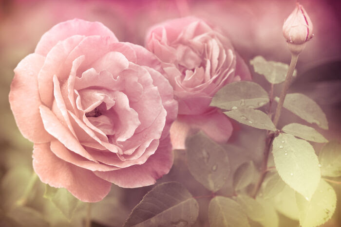 Rose Flower Meaning Flower Meaning