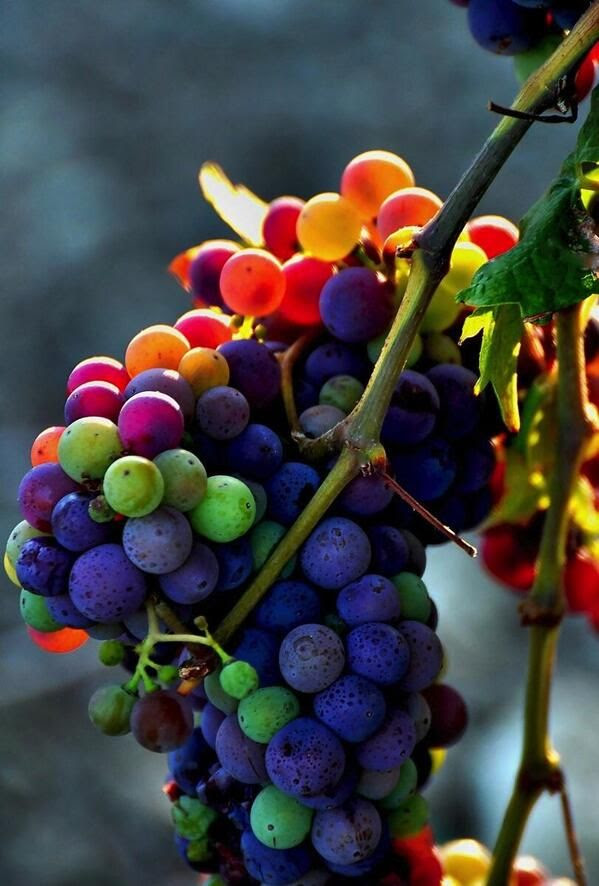 Those are going to make a great wine #wine #grapes #pretty