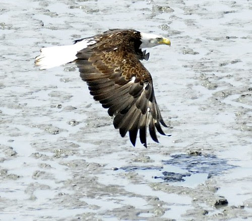 Bald Eagle by RV Bob