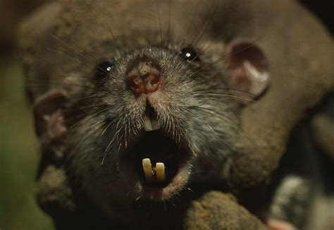 Close Up Of A Rats Fast growing Teeth Photograph by James L. Stanfield