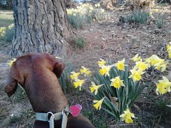 Dell and Daffodils by Teckelcar