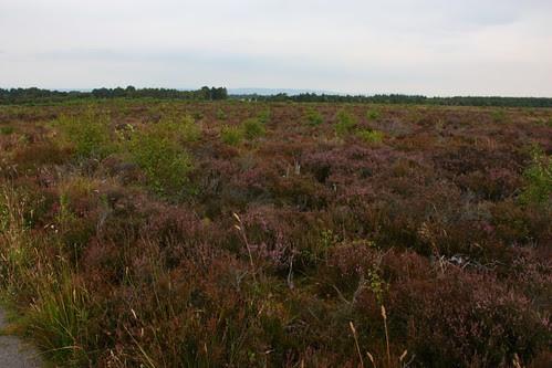 Heather at Culloden Battlefield