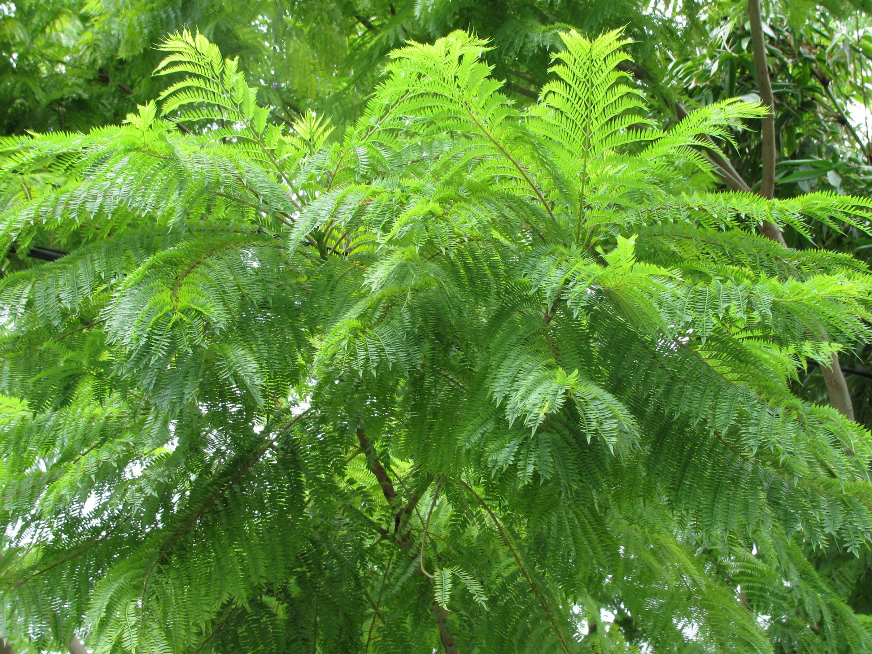 Jacaranda Jacaranda Acutifolia
