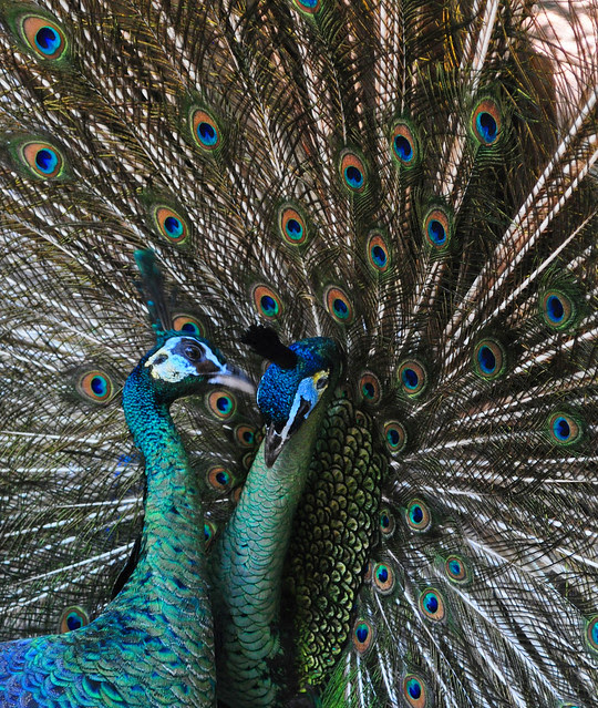 Indian Blue Peacock (4)