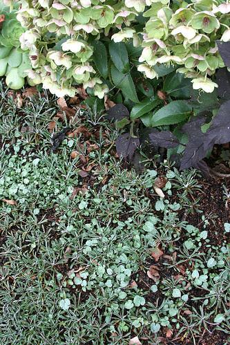 helleborus x sternii reseeding