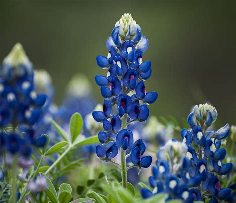 texas bluebells auntie dogmas garden spot