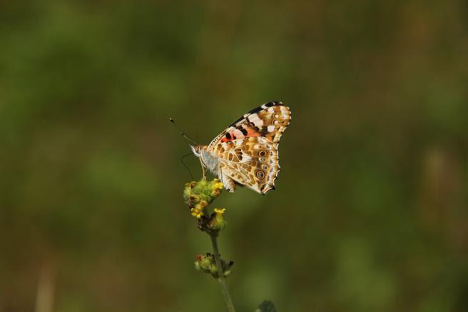 La cardera o vanesa de los cardos es una de las mariposas más comunes en nuestro planeta