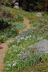 California Natives (FarOutFlora) Tags: california iris garden botanical san francisco strybing natives douglasiana