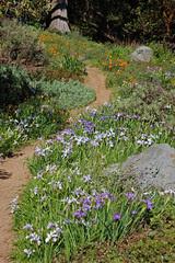 California Natives (FarOutFlora) Tags: california iris garden botanical san francisco strybing natives douglasiana