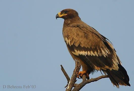 Download 94+  Gambar Burung Elang Kalimantan HD Terbaru Free