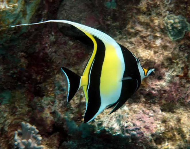 8. Moorish Idol
