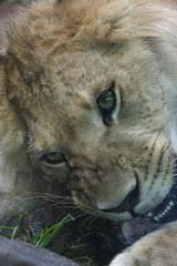 Lion Cub Gnawing on a Bone