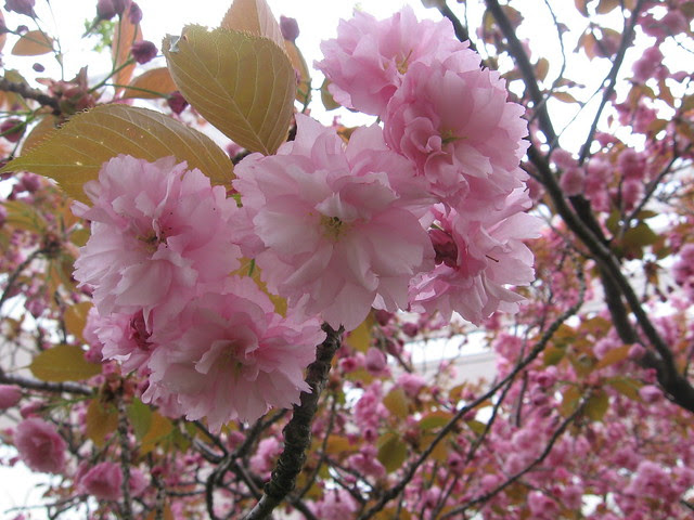 cherry blossoms, april 4th '07