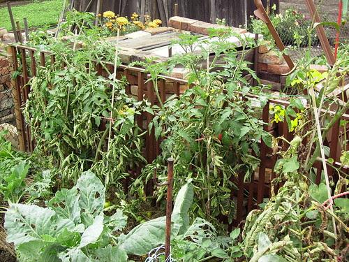 Tomatenpflanzen im Herbst