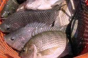 Unduh 830 Koleksi Contoh Gambar Ikan Nila HD Terpopuler