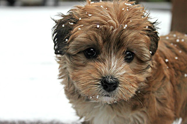 snowy penny