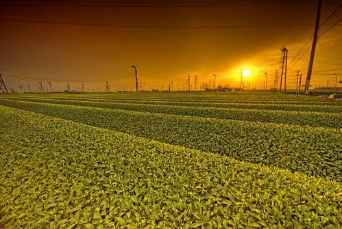 Green Tea Sunset