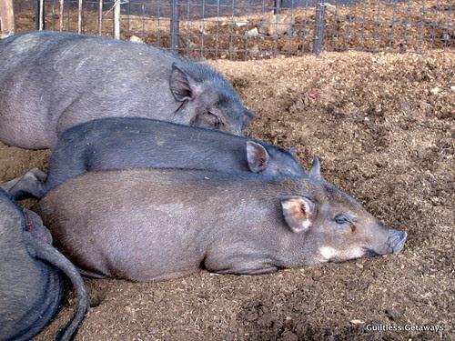 wild-pigs-in-a-farm.jpg