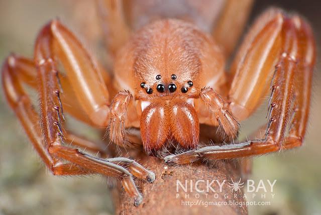 Huntsman Spider (Sparassidae) - DSC_5895
