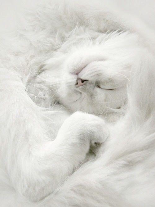 ❖Blanc❖ White cat sleeping www.cyndylou3.tumblr.com/post/39811344835