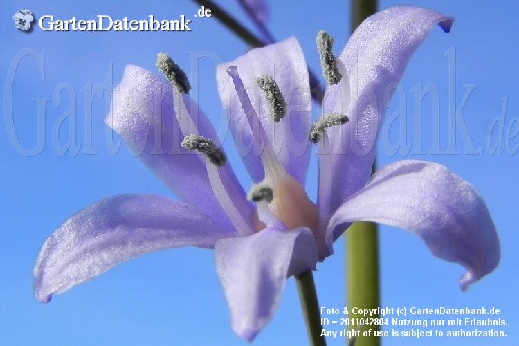 Hyacinthoides hispanica Blüten nah