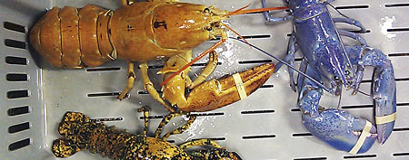 Scientists are seeing a boom in the number of blue, orange, yellow and calico-colored lobsters in the past two years, leading them to ask why they're getting more reports of rare-colored lobsters showing up in fishermen's traps. (AP Photo/Rebecca McAleney, File)