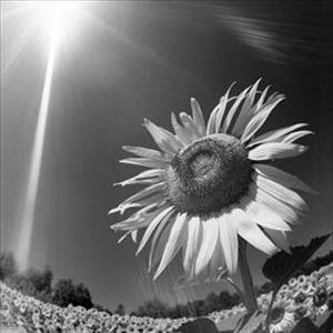 fiore al sole.jpg